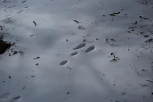 H240115 1230 ウサギの足跡 ですよね