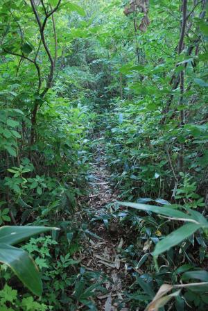 H240908 0716 笹に覆われつつある道をやはりまだまだ登ります