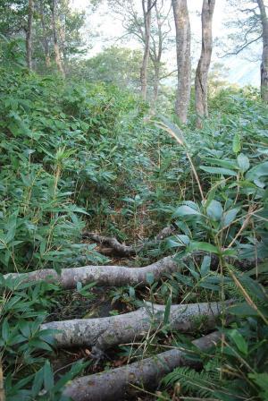 H240908 0731 倒木が道をふさぎます