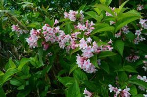 H250623 1413 アジサイみたいな葉だけれどツツジみたいな花…なにこれ