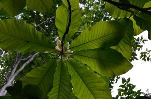 H250623 1634 ホウの木の花