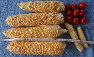 トウモロコシ4累計6シュガープラム9累計145